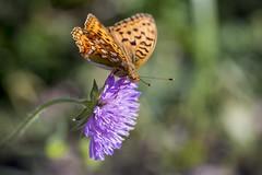 little butterfly (Robin. S) Tags: butterfly macro macroshots summer nikon