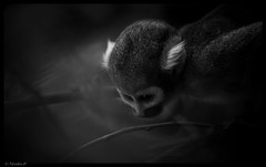 Little Big Man (Pilouchy) Tags: little big man monkey primate singe blackandwhite hominide dream reve lumiere noir eyes regard wild monochrome forest cousin frere