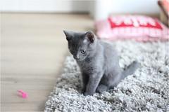 IMG_2526 (murkla_la) Tags: cat russianblue moussie gray graycat