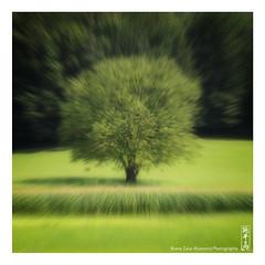tree (alamond) Tags: focus blur tree green lonely lonelytree canon 7d markii mkii llens ef 70300 f456 l is usm alamond brane zalar