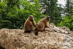 Sweet Marmots (chiara.poire) Tags: marmotte marmots marmot trentino dolomiti dolomites mountain animals animali green rock verde italy italia natura nature