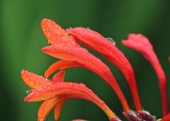 Crossmia (stag35v8) Tags: orange cobwebs