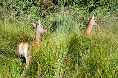 biche et faon (cervus elaphus) (G.NioncelPhotographie) Tags: biche faon animaux cervid cervus elaphus