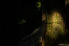 Cypress Forest (Maurizio Scotsman De Vita) Tags: natura cypress trunks caserta nature plantsflowers italia cipresso alberi cipressetadifontegreca trees boschi tronchi cupressussempervirens campania fontegreca woods