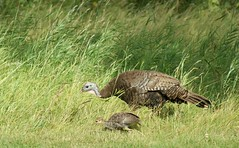 Out for a stroll (Kim's Pics :)) Tags: turkey wild animal mother baby family stolling prairiegrass park eating together sidebyside winnipeg manitoba canada assiniboinepark bird
