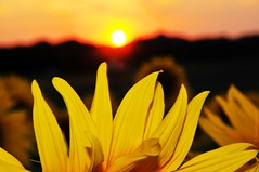 Sunset (Vee living life to the full) Tags: sunflowers sunset hitchin lavender nikond300 shootaboot 1 2016 sun petals yellow golden flowers blumen silhouette