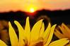 Sunset (Vee living life to the full) Tags: sunflowers sunset hitchin lavender nikond300 shootaboot 1 2016 sun petals yellow golden flowers blumen silhouette