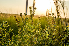 West Texas Morning (10 of 40) (mharbour11) Tags: wildcats elk purple sunrise westtexas texas sky windturbines windmill sun silhouettefire silhouette
