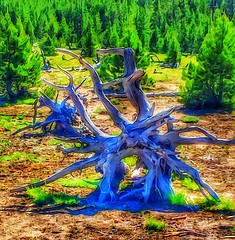 Altered state... (Sherrianne100) Tags: wyoming yellowstonenationalpark yellowstone twisted deadtree