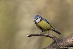 Chapim-azul, Blue Tit (Parus caeruleus) (xanirish) Tags: chapimazul bluetitparuscaeruleusemliberdadewildlifenunoxavierlopesmoreirangc ngc nuno xavier moreira selvagem liberdade ave birds portugal nature natureza