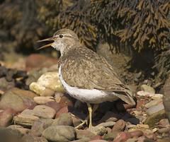 Spotted Sandpiper (J J McHale) Tags: scotland sandpiper spottedsandpiper bird nature wildlife