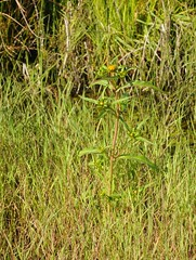 Nickender Zweizahn (Bidens cernua); Meggerdorf, Stapelholm (2) (Chironius) Tags: stapelholm meggerdorf schleswigholstein deutschland germany allemagne alemania germania    ogie pomie szlezwigholsztyn niemcy pomienie asterids campanuliids asterales korbbltler asteraceae asteroideae blte blossom flower fleur flor fiore blten    moor sumpf marsh peat bog sump bottoms swamp pantano turbera marais tourbire marcageuse