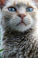 VISTA ANIMAL (ErickLlanosR) Tags: gatos cat eye blue grey texturas lima eyeblue cats street park gatoscallejeros