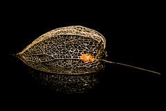 a sweet spot in a basket (HMM) (ralfkai41) Tags: sweetspotsquared macromondays sweetspot makro samen pflanze natur outdoor lampionblume blume physalisalkekengi flower semen plant nature macro chineselantern japaneselantern wintercherry