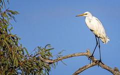 7:31am, lagoon creek, a great egret (Fat Burns  (gone bush)) Tags: easterngreategret ardeamodesta waterbird bird australianbird fauna australianfauna egret australianegret outdoors nature nikond750 sigma150600mmf563dgoshsmsports sigmatc140114xteleconverternik lagooncreek barcaldine