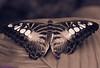 K46A8051-2 (Yvonne23021984) Tags: schmetterling butterfly hamm germany deutschland maxipark markro photography macrophotography canon canonphotography markofotografy canoneos7dmarkii insects insekten nature naturfotografie naturephotography closeup colorkey schmetterlinge butterflies
