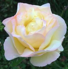 Peace Rose perfection (markshephard800) Tags: roses ruiz roz ros rosa peace peacerose rose tuin jardim jardin giardino garten garden flora flores bloemen blumen fiori flowers fleurs