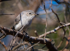 Blue gray Gnatcatcher Inceville  Los Liones Canyon 077 (pekabo90401) Tags: polioptilacaerulea bluegraygnatcatcher gnatcatcher gnatraptor wesen canyonmonkey vogel gobemoucheronsgrisbleu perlitagrisilla perlitacomn 80d canon80d canon camaraderie friendship losliones loslionescanyon inceville pekabo90401 tinyandfast lightroom southerncaliforniabirds birdwatching birdwatchinglosangeles pacificpalisadesbirds angrybaby