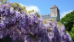 Glycine, wisteria on a Breton's country house (claude 22) Tags: fleur fower glycine maison bretonne blue sky sony nex6 wisteria blumen blume fiori flor
