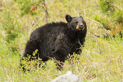 Trying to catch the wind (ChicagoBob46) Tags: blackbear bear yellowstone yellowstonenationalpark nature wildlife
