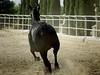 Andalusian Mare Running at Full Tilt (~MAMA Z~) Tags: animal fauna horse equine andalusianmare runningaway andauroraranch mercedca 300mm