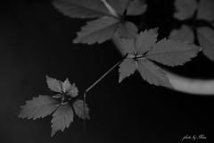 Your Name (NINA KOB) Tags: monochrome blackwhite plant leaves sigma dp3 merrill foveon