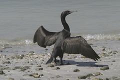 Socotra cormorant (Phalacrocorax nigrogularis) (www.clivetemple.com) Tags: uae dubai cormorant socotra bird birds nature