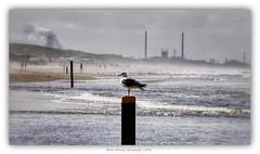 Meeuw (Ruud Severijns) Tags: strand natuur meeuwen