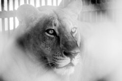 The King's eye (Ajwad Mohimin) Tags: lion indian animal bangladesh zoo canon caged eyes blackandwhite monochrome ngc