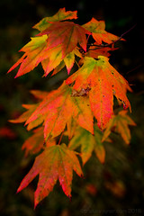 Rusting out-2770 (Tristan Rayner) Tags: green forest autumn fall colour maple red orange yellow