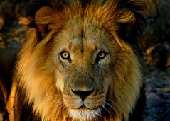 Lion (AndersHolvickThomas) Tags: