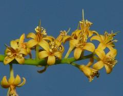 Adenanthera pavonina Airlie Beach Park P1130626 (Steve & Alison1) Tags: airliebeach mimosaceae redbeadtree arfp adenantherapavonina australianrainforestplants adenanthera qrfp arfflowers yellowarfflowers galleryarf lowlandarf