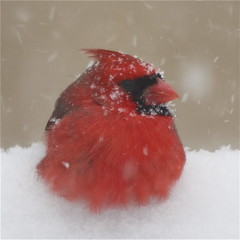 big red (skip2molou) Tags: cardinal blizzardnemo stormnemo