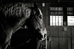 patience (Jen MacNeill) Tags: blackandwhite horse animal barn pennsylvania stall monotone belgian equine draft workhorse gypsymarestudios canont3i jennifermacneilltraylor jmacneilltraylor equinebw