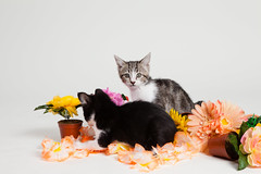 Kittens and Flowers (Found Animals) Tags: flowers cats cute animals kittens foster creativecommons adopt cutecat adoption cutekittens stockphotography babyanimals tuxedokitten blackandwhitekitten foundanimals foundanimalsfoundation brownandwhitekitten