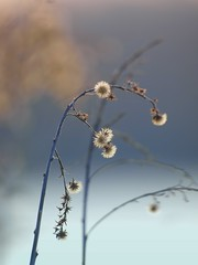 Grâce hivernale ***-* (Titole) Tags: seed seeds friendlychallenges thechallengefactory storybookwinner titole favescontestfavored nicolefaton