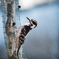 Woodpecker (Oleksiy & Tetyana) Tags: blue winter wild snow toronto canada cold bird nature work woodpecker
