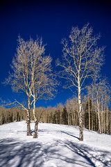 Three Aspen Trees In A Snowy Meadow III (Mabry Campbell) Tags: wood blue trees winter usa mountain snow cold newmexico santafe tree nature forest landscape photography countryside us photo woods whispering photographer unitedstates image unitedstatesofamerica bluesky alpine photograph trunk aspens 100 24mm trunks february nm aspen f71 photogragher verticallines santafenationalforest 2013 santafecounty tse24mmf35l ¹⁄₈₀₀sec eos5dmarkiii mabrycampbell february162013 201302160h6a0422 whisperingaspen whisperingaspens