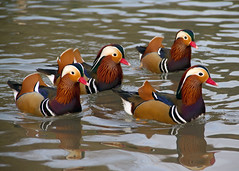 The Mandarins (Kent Capture) Tags: waterfowl mandarinducks arundelwwt