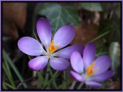 Spring has Sprung (nondesigner59) Tags: flower nature closeup spring flora purple crocus crocuses eos50d nondesigner nd59 naturesgreenpeace mothernaturesgreenearth copyrightmmee