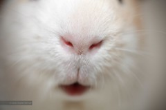 Oswald's nose (Marie-Sophie Germain) Tags: macro nose guineapig cavy ear cobaye cochondinde