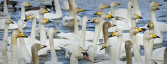 Swans at Caerlaverock WWT (Mike Docherty) Tags: birds swans mute wwt caerlaverock whooper