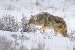Sneaky Coyote (Free Roaming Photography) Tags: coyote winter usa snow cold west animal fur mammal nationalpark quiet wildlife coat low canine wintercoat yellowstonenationalpark northamerica yellowstone wyoming sly sneaky scavenger sneak winterbeauty sweetfreedom