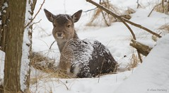 Joung deer ... (Alex Verweij) Tags: winter snow cold canon sneeuw deer 7d awd 70200mm koud damhert specanimal youngdeer alexverweij photographyforrecreation