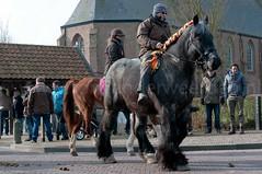 DSC_6549 (Ton van der Weerden) Tags: horses horse de cheval van der nederlands belges ton draft chevaux belgisch trait strao 2013 trekpaard noordwelle trekpaarden weerden straonoordwelle2013