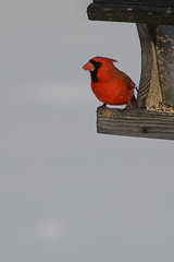 Cardinal_42554.jpg (Mully410 * Images) Tags: bird birds backyard cardinal birding birdfeeder birdwatching birder northerncardinal burdr