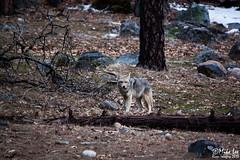 Coyote - Yosemite (Riven Imagery) Tags: coyote park forest wildlife national yosemite yosemitenationalpark efs55250 t1i