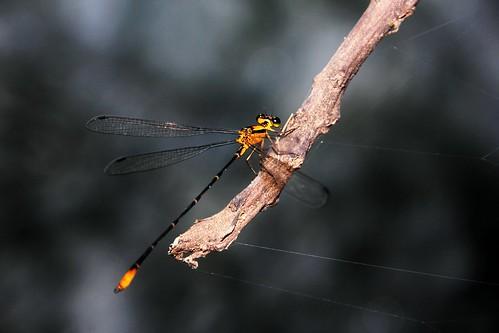 Aiuruoca animals insects dragon fly Minas nature Libelula