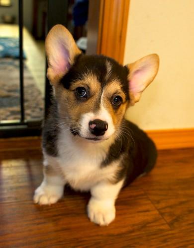 Corgi Puppies 8