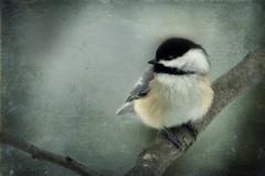 Contemplation (sharis snaps) Tags: texture chickadee shadowhouse tatot